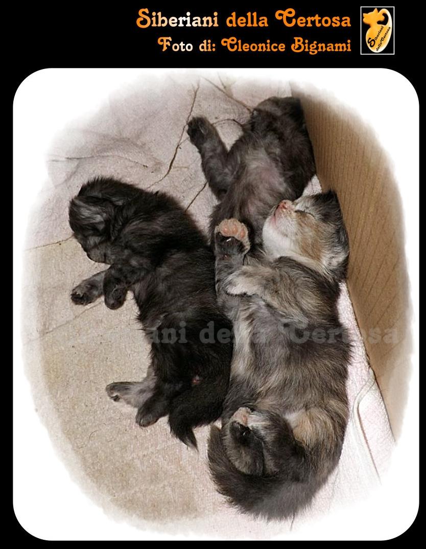 11il gatto siberiano