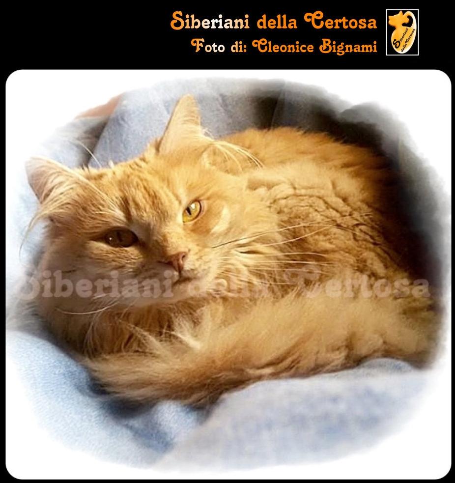 12il gatto siberiano