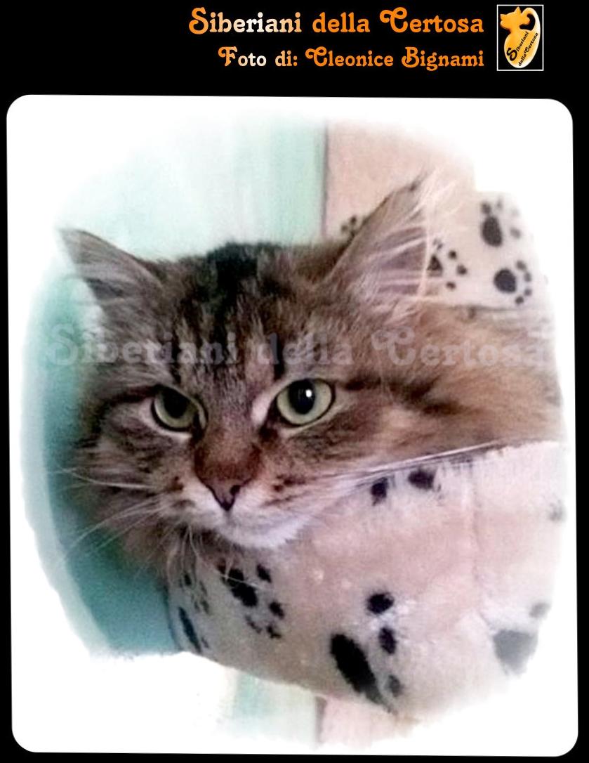 13il gatto siberiano