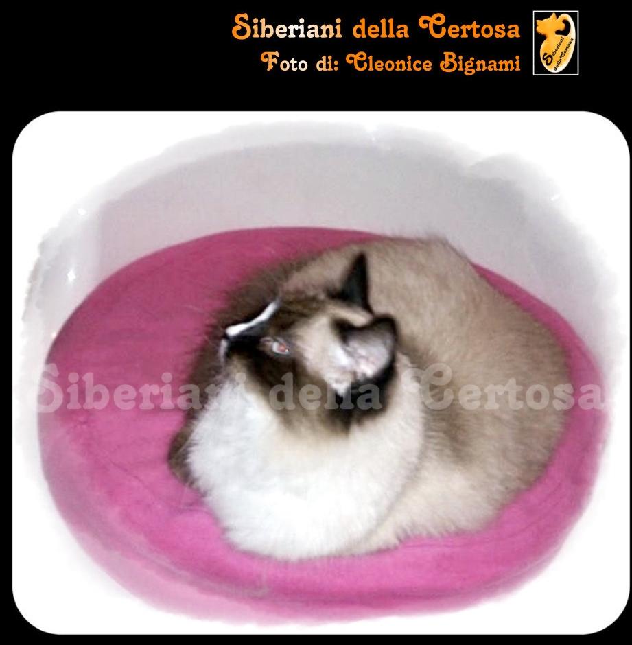 14il gatto siberiano