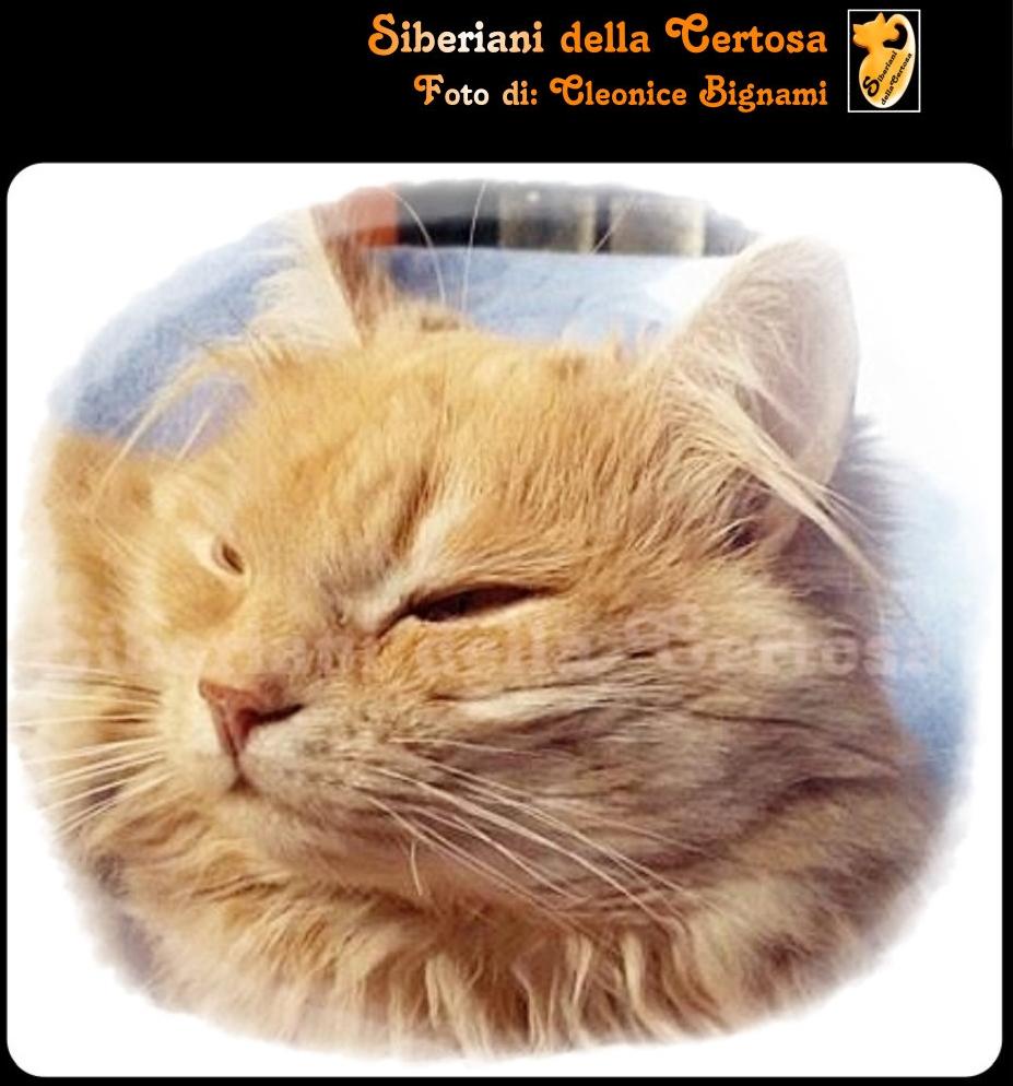 15il gatto siberiano