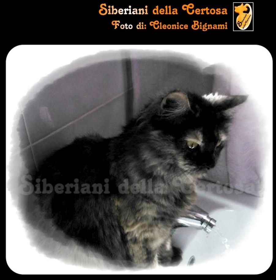 16il gatto siberiano
