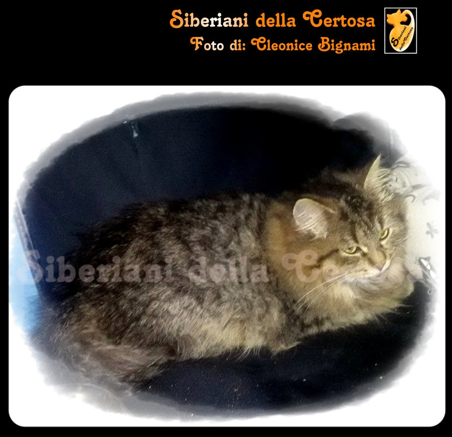 17il gatto siberiano