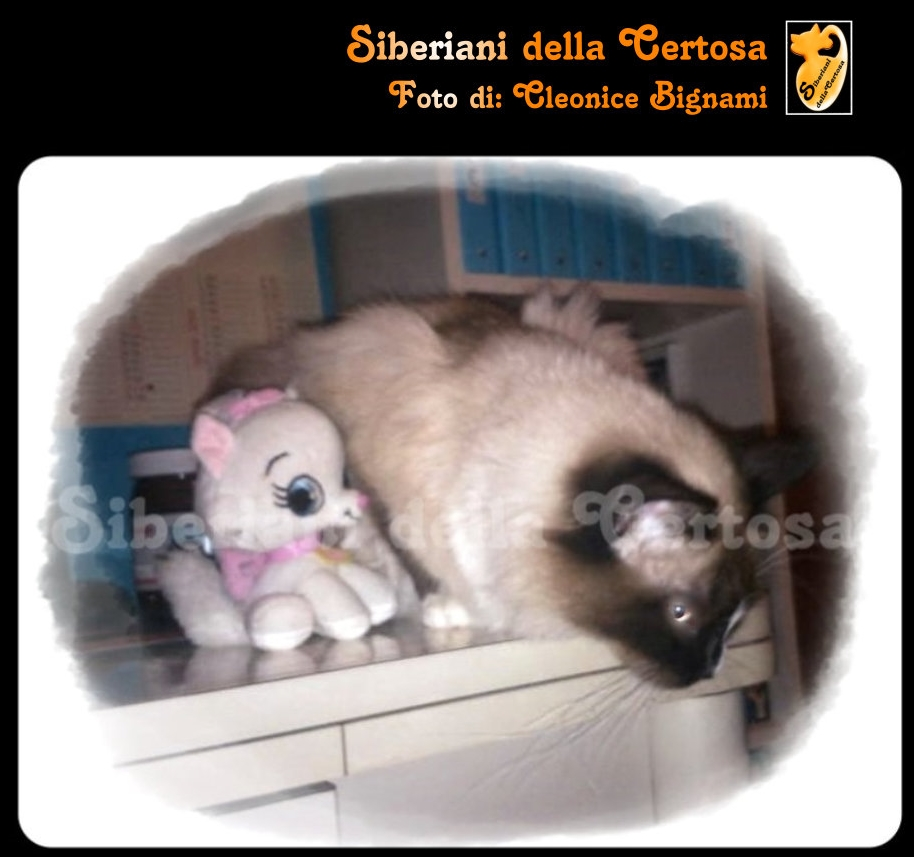 18il gatto siberiano