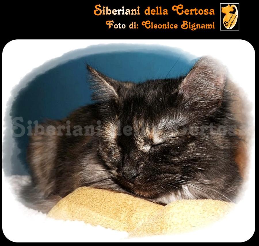 19il gatto siberiano