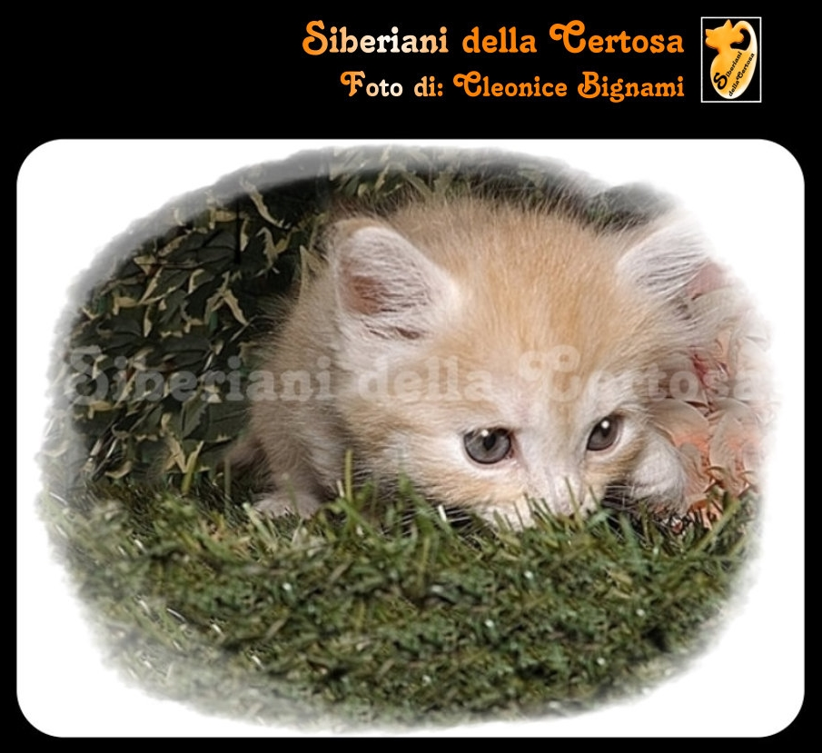 1il gatto siberiano
