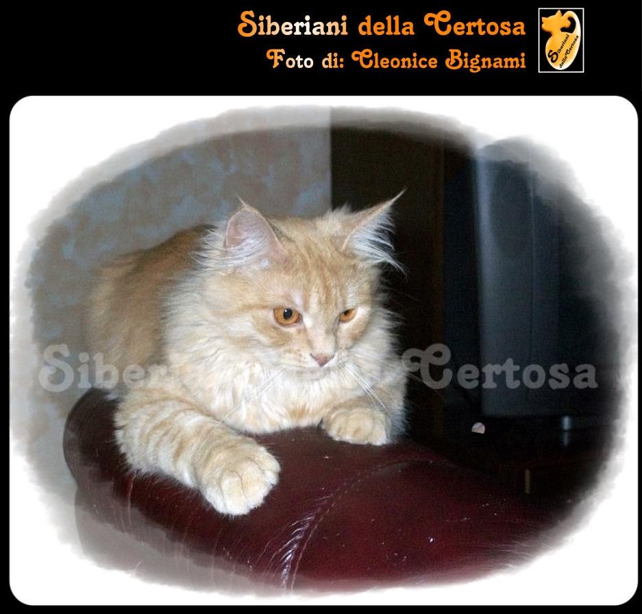 20il gatto siberiano