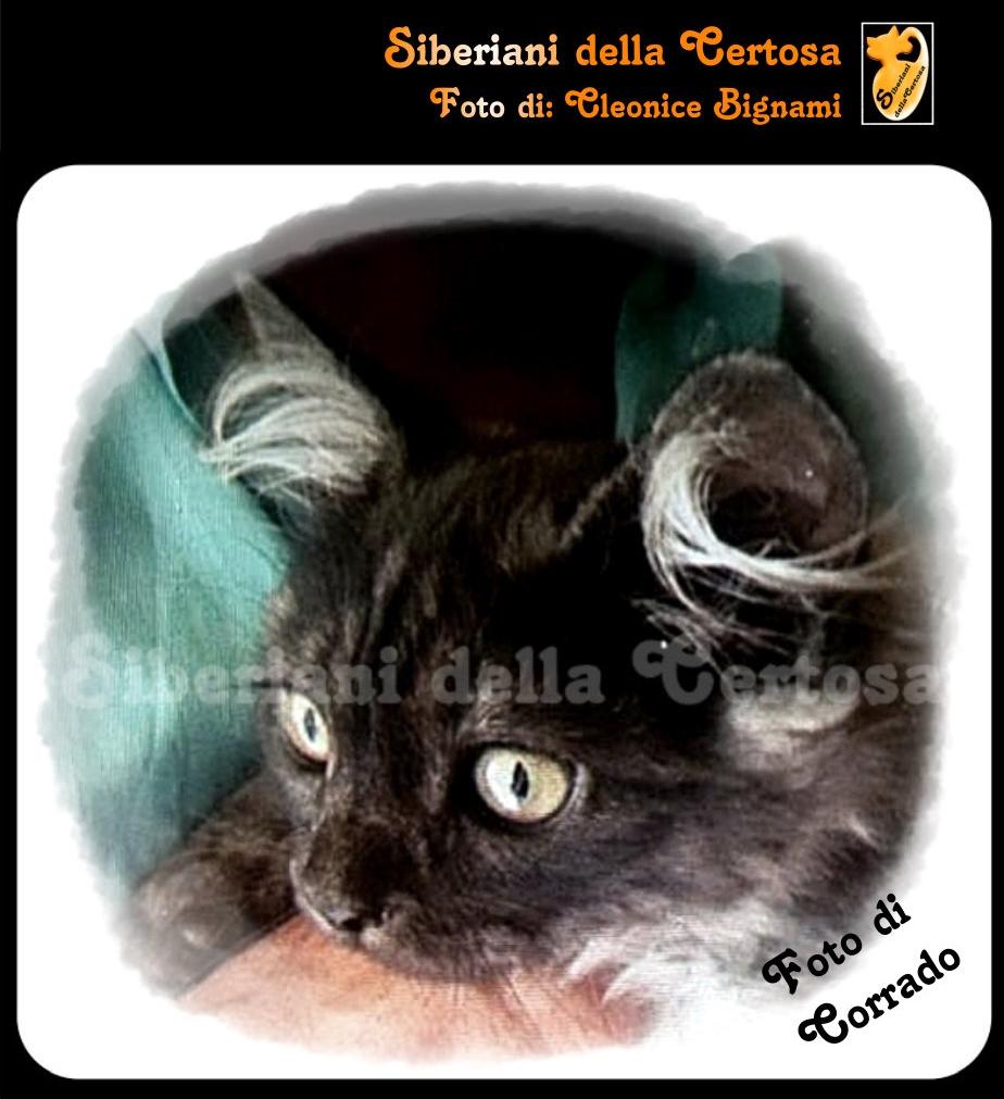 21il gatto siberiano
