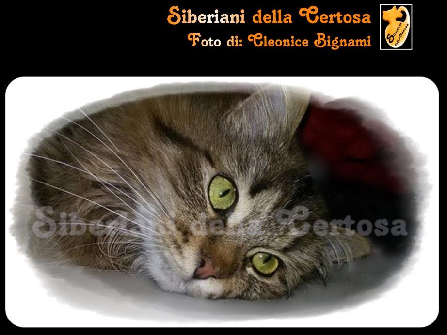 22il gatto siberiano