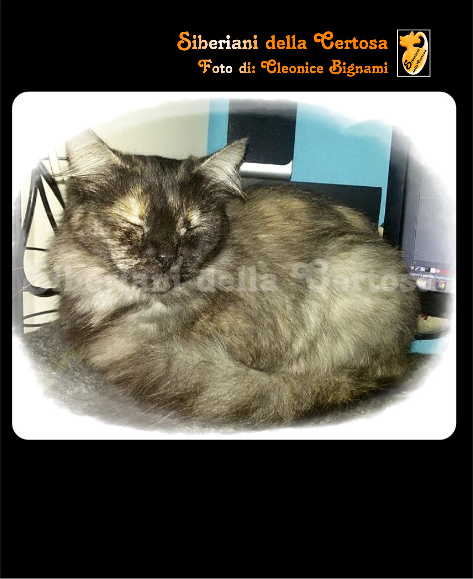 24il gatto siberiano