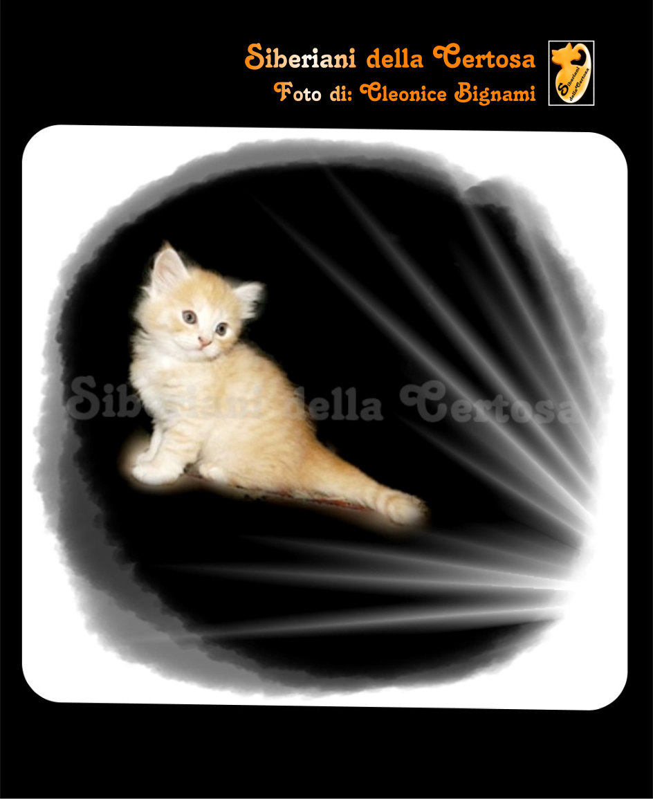 25il gatto siberiano