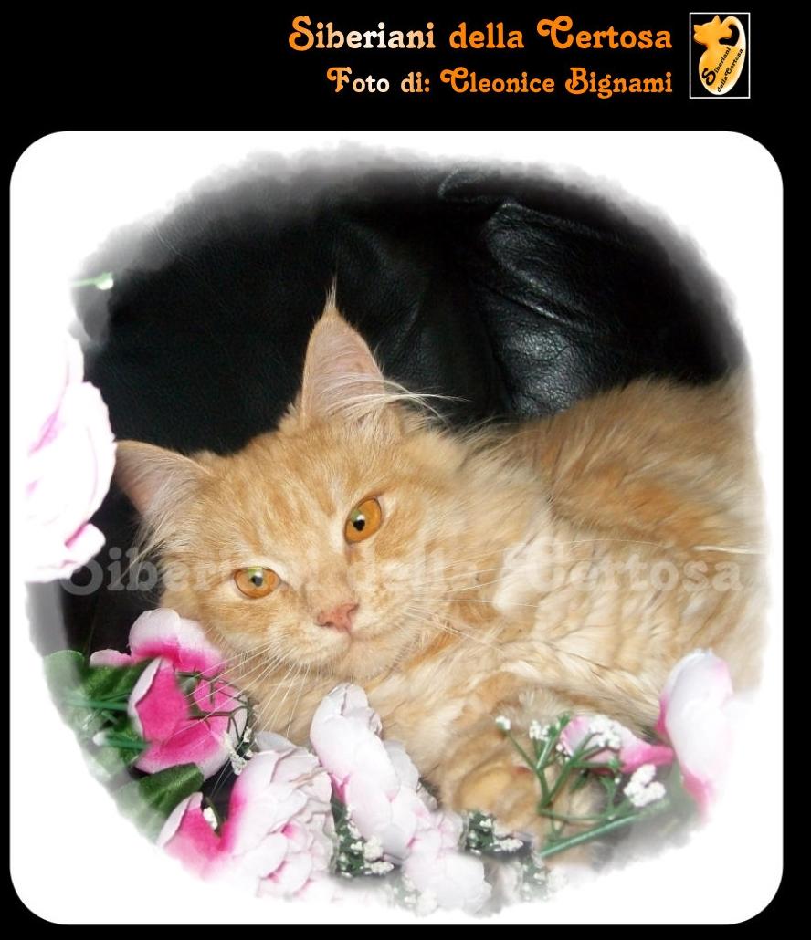 27il gatto siberiano