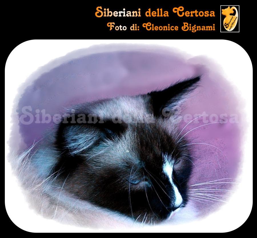 28il gatto siberiano