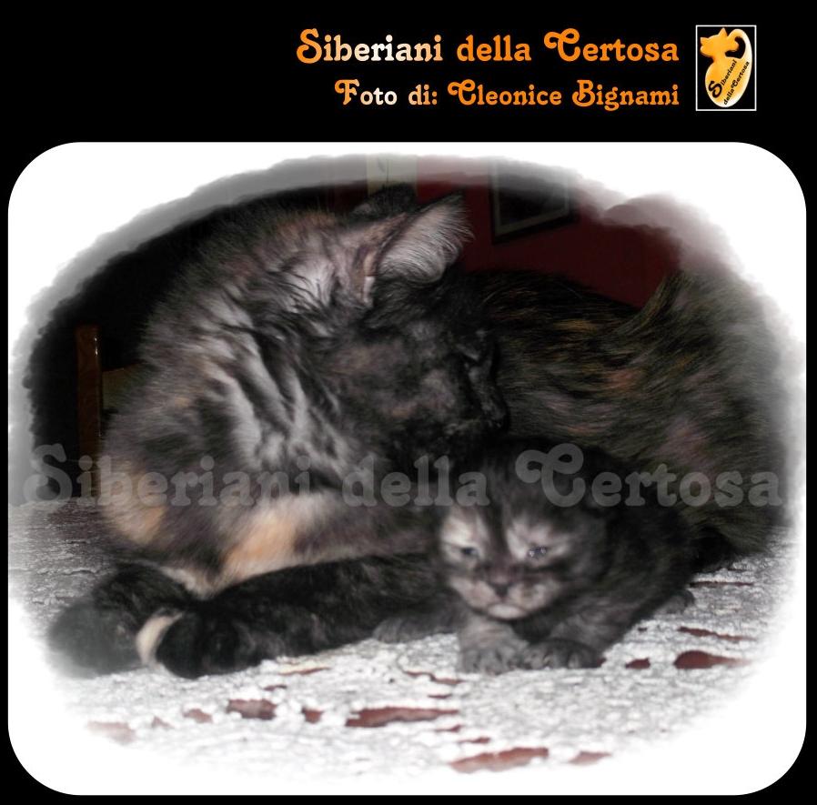 29il gatto siberiano