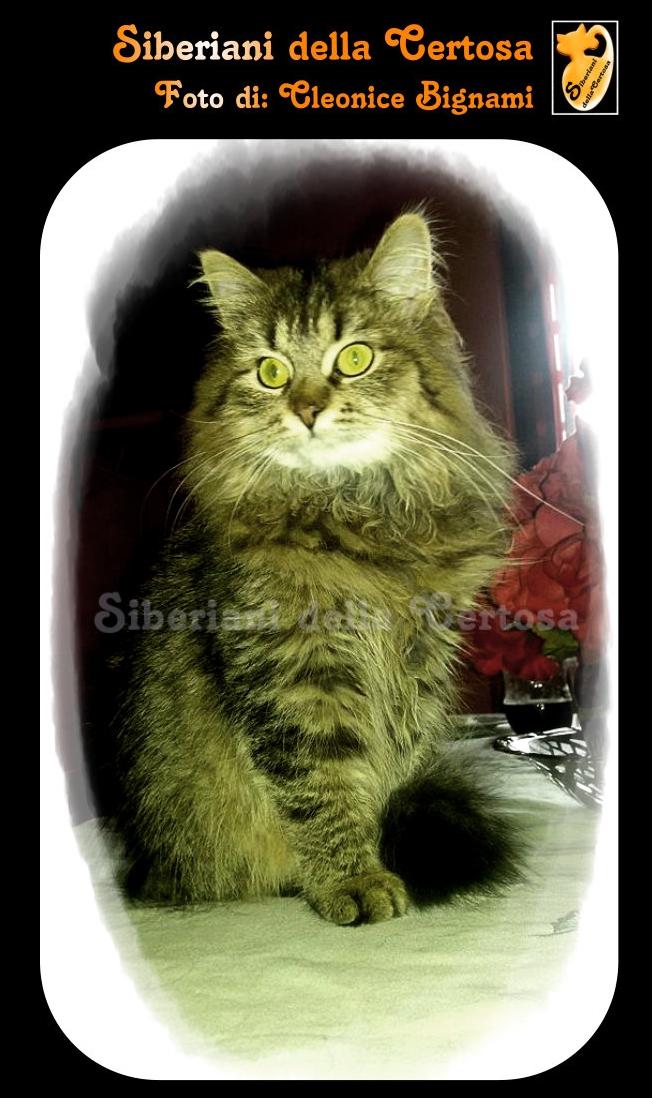 2il gatto siberiano