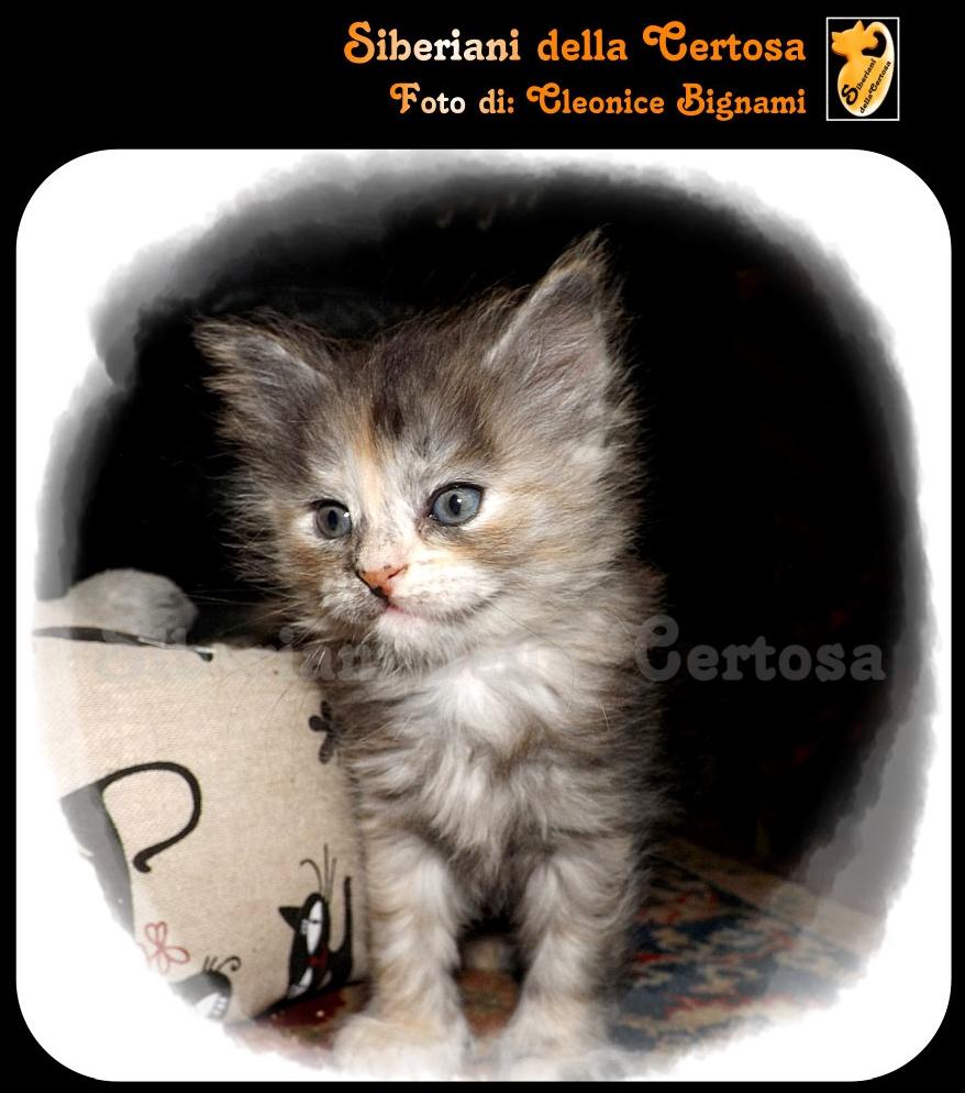 32il gatto siberiano