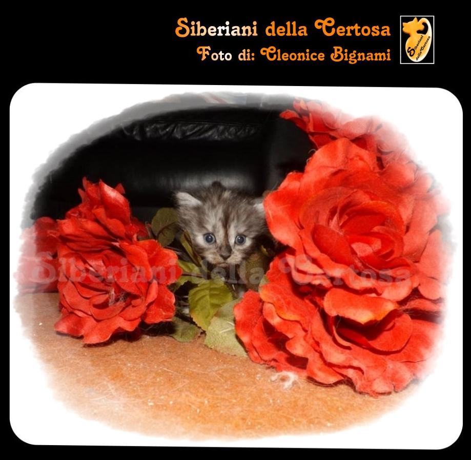 33il gatto siberiano