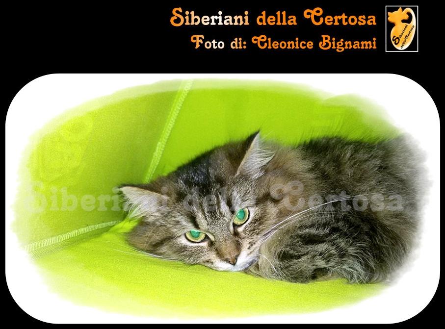 34il gatto siberiano