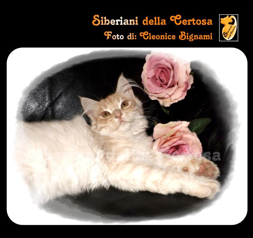 35il gatto siberiano