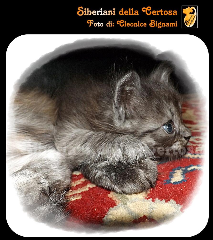 37il gatto siberiano