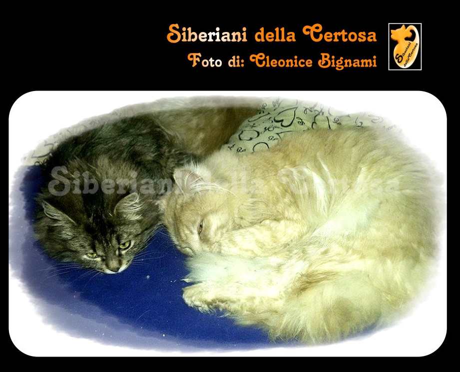 38il gatto siberiano