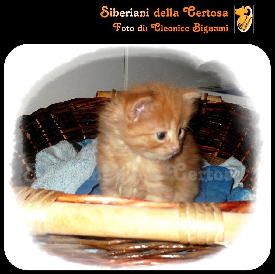 39il gatto siberiano
