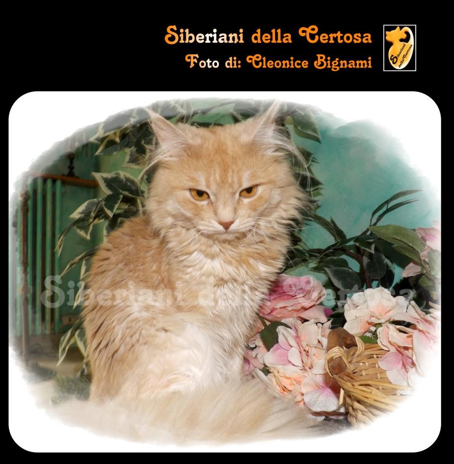 42il gatto siberiano