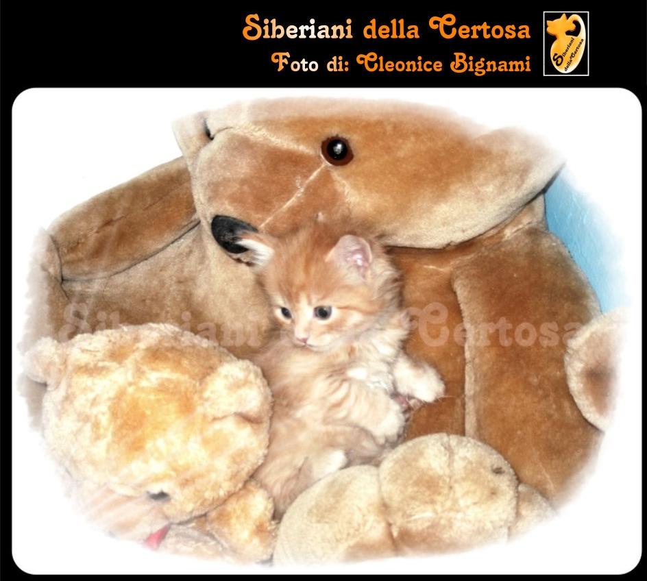 4il gatto siberiano