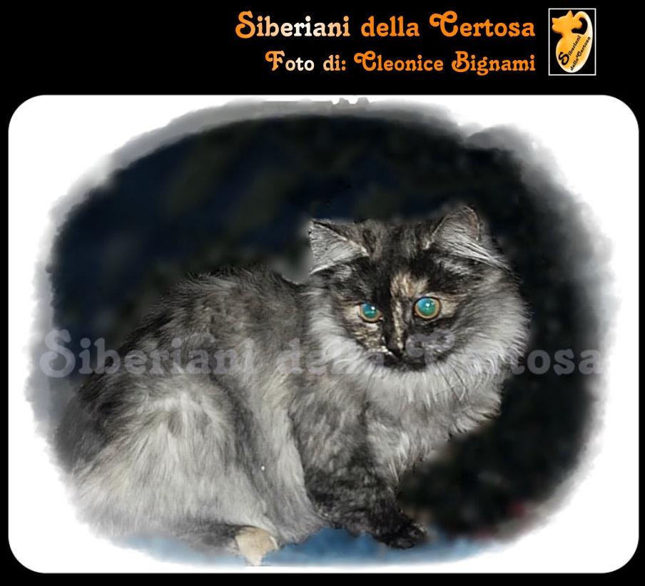 5il gatto siberiano