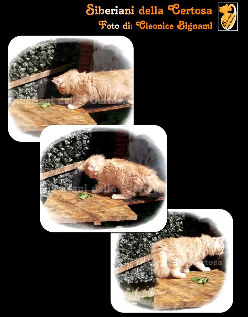 6il gatto siberiano