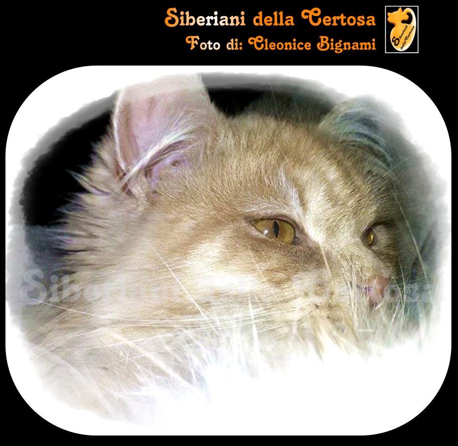 7il gatto siberiano
