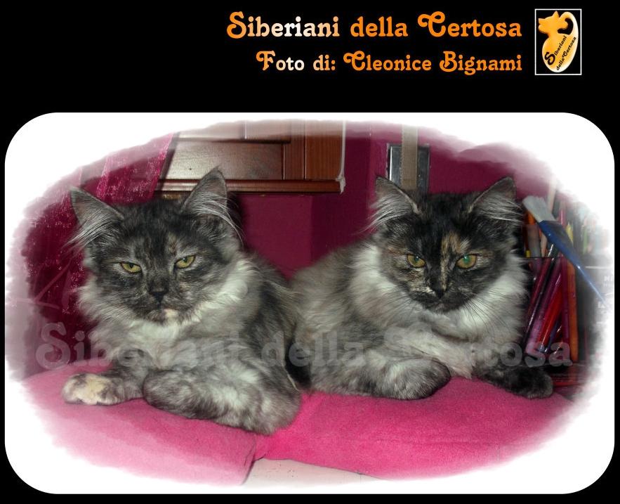 8il gatto siberiano
