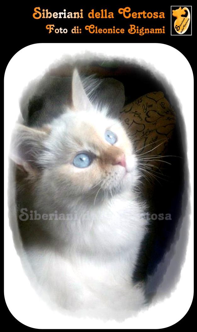9il gatto siberiano